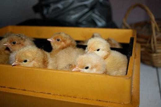 Udrugning af kyllinger