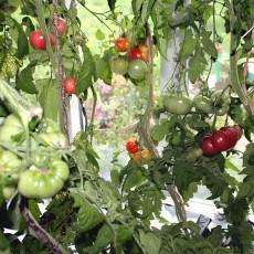 Hvordan dyrker man tomater?