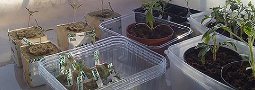 Hjemmelavede tomatplanter