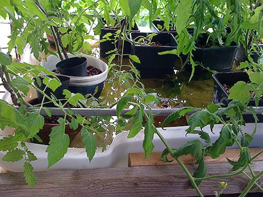 Tomater uden jord (Hydroponisk)