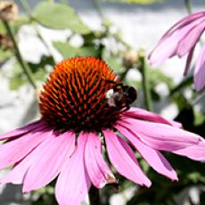 Purpursolhat (Echinacea Purpurea)