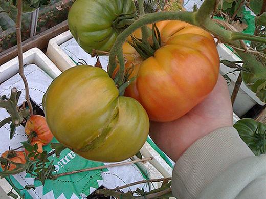 Tomater i vandingskasser